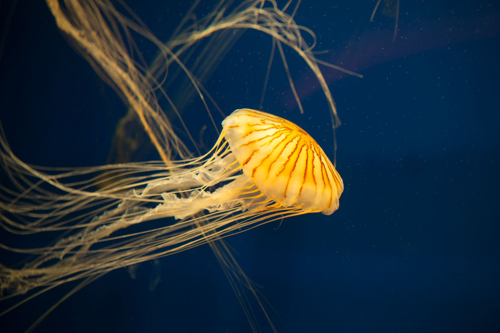 japanese sea nettle jellyfish PQ8UW2B The Plus Addons for Elementor