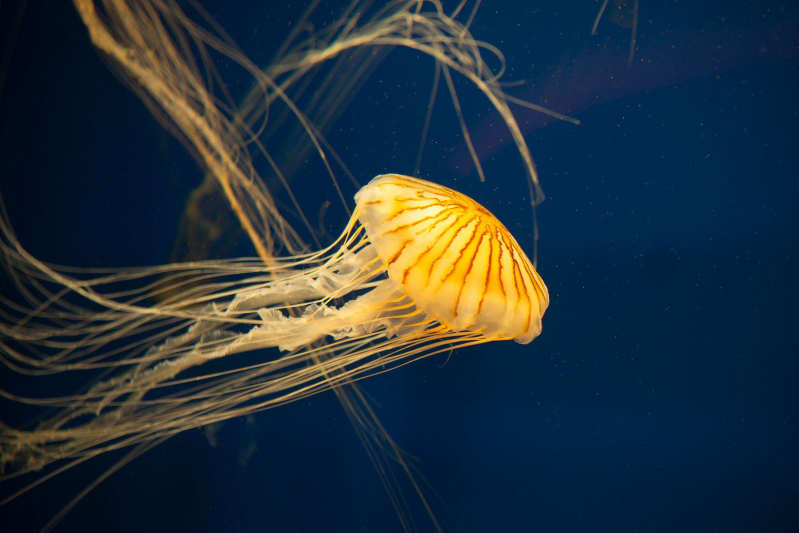 japanese sea nettle jellyfish PQ8UW2B The Plus Addons for Elementor